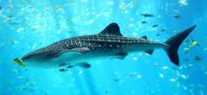 Whale_shark_Georgia_aquariu-655x302
