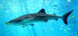 Whale_shark_Georgia_aquariu-655x302